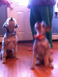 Clearly these two dogs are treat motivated! Try holding a treat or a toy right near the camera :)