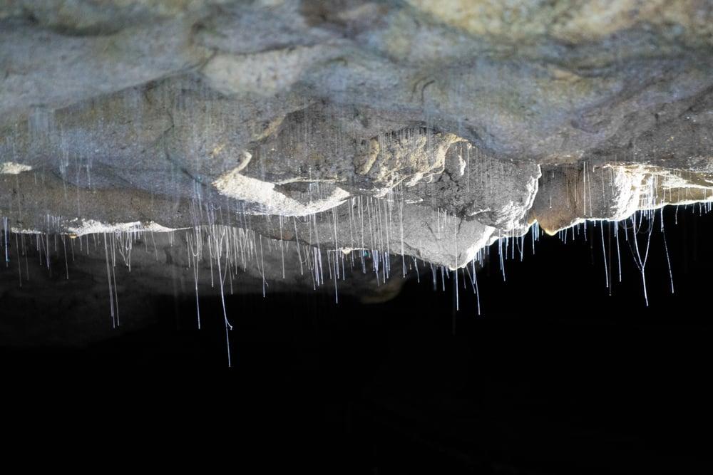 Threads of glowworm silk used to catch prey.