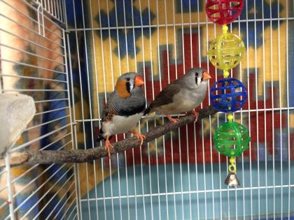 This lovestruck Romeo (and Juliette) are a bonded pair of purebred finches.