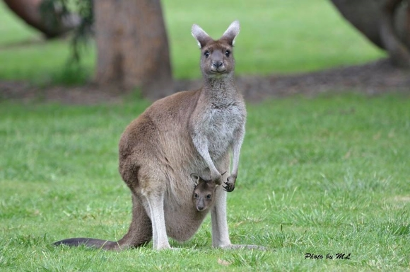 "Kangaroos are a marsupial mammal. They have short gestation periods and pouches, in which the babies are nourished and developed. A famous literary marsupial pair are mother and son Kanga and Roo from A.A. Milne's ""Winnie the Pooh"" books."