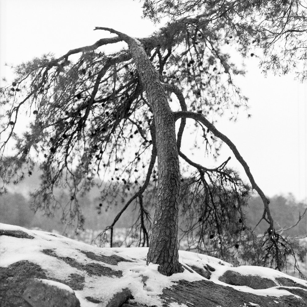 Pine, Great Falls Park, Virginia, 2012