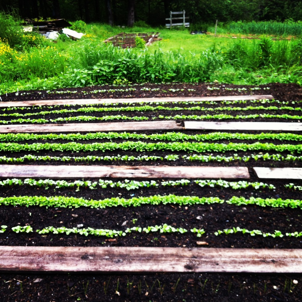 Salad Greens growing in the garden where once stood a 100 year old barn.