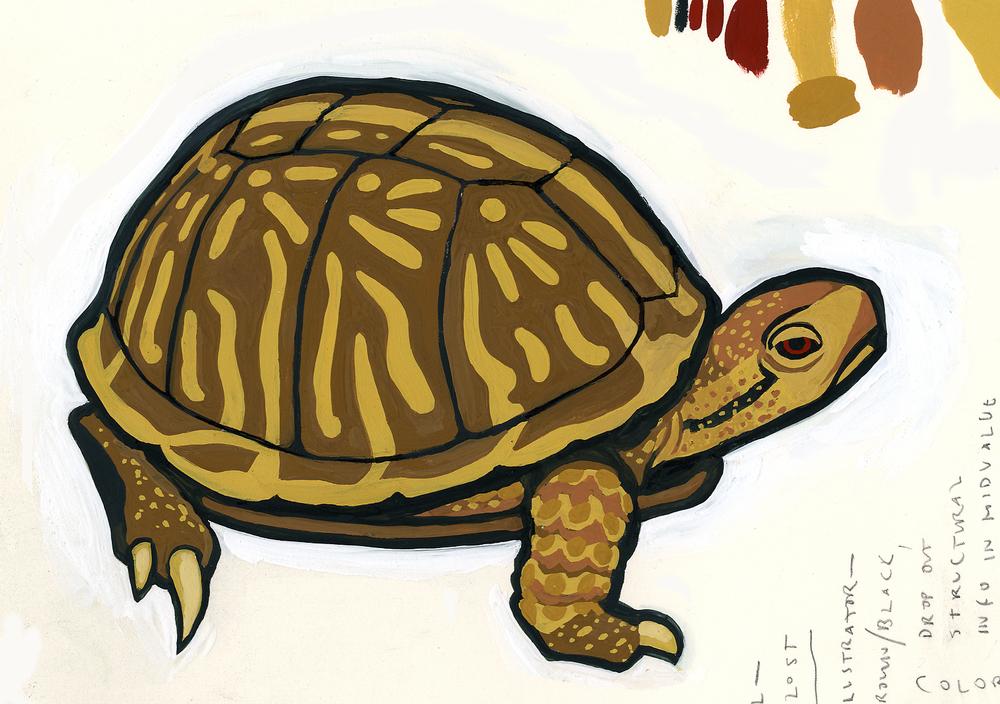 Painted Box Turtle, MySci