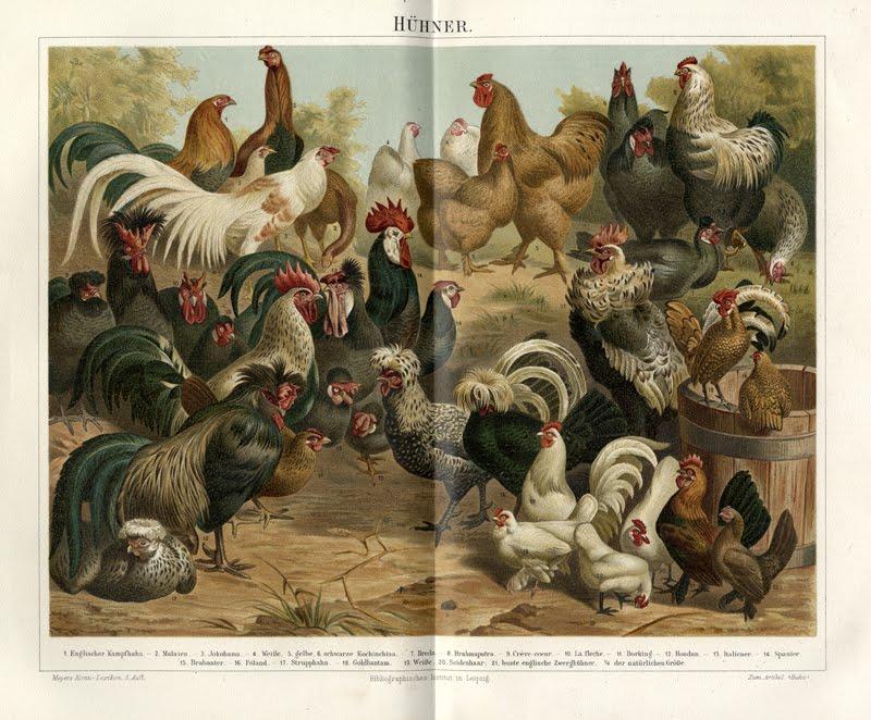 illustrator uncredited,Hühner(Chicken Breeds), Meyers Lexicon, 1894