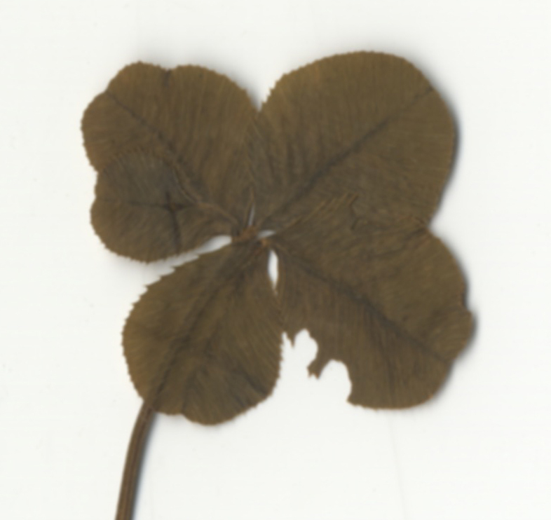 Detail, four-leaf clover.