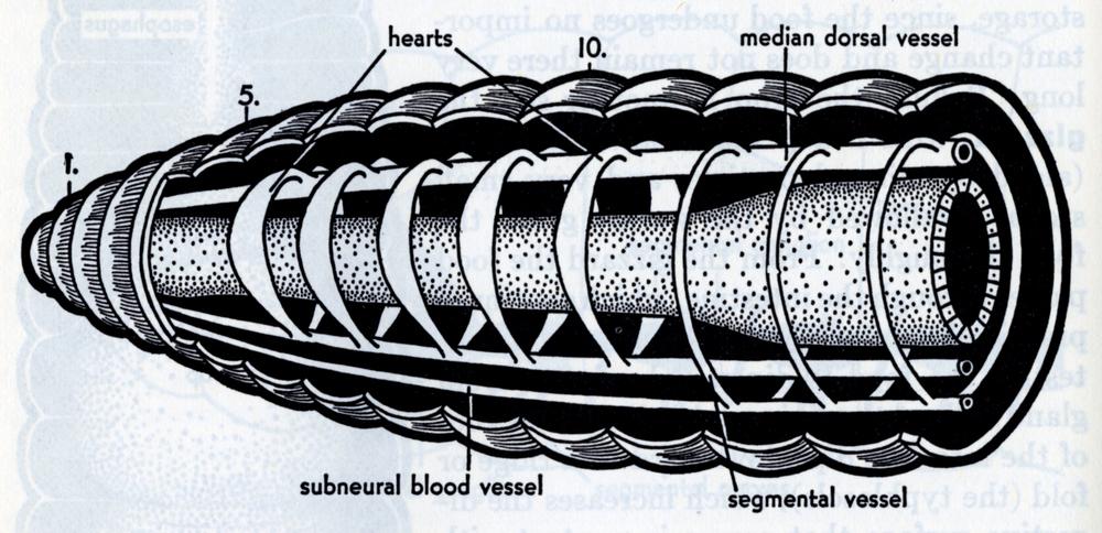 Elizabeth Buchsbaum,Animals Without Backbones (2nd edition).Cutaway diagram inside a worm.