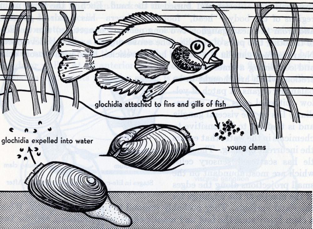 fresh water clams life cycle