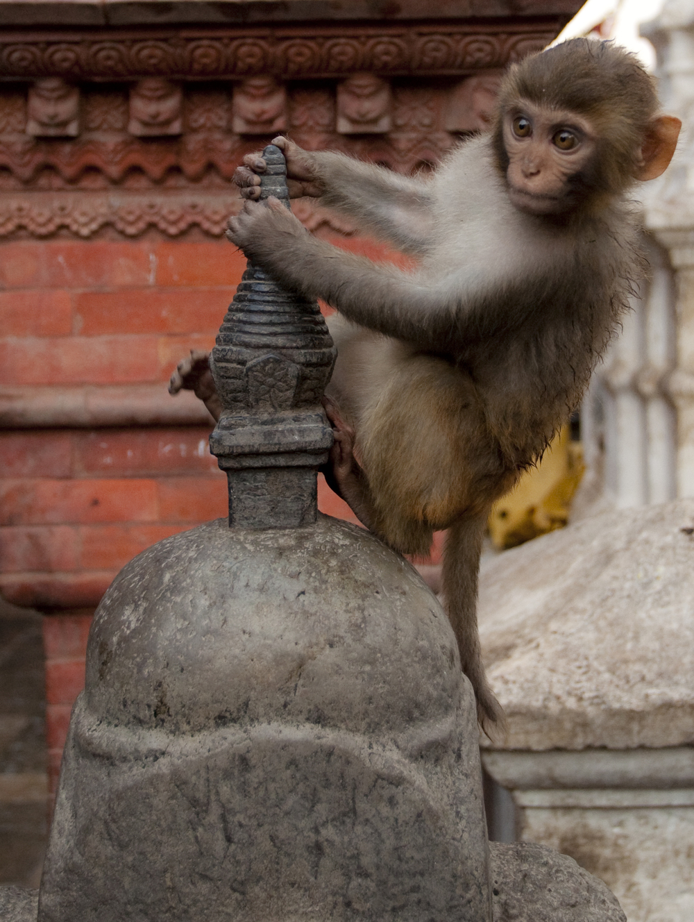Kathmandu Baby Monkey