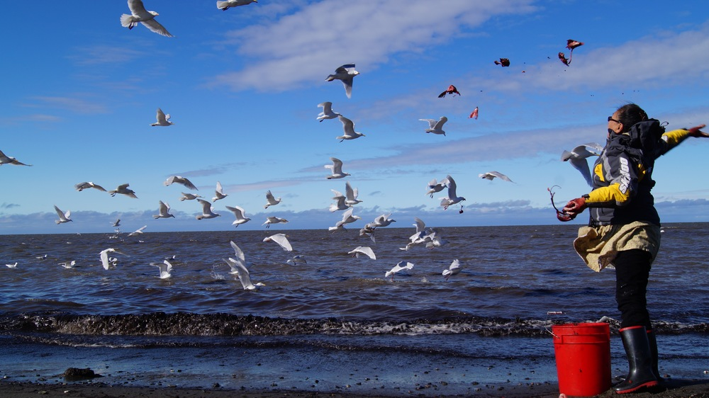 Kotzebue, AK. Vernetta Moberly throwing fish to gulls  Photo by Sarah Betcher