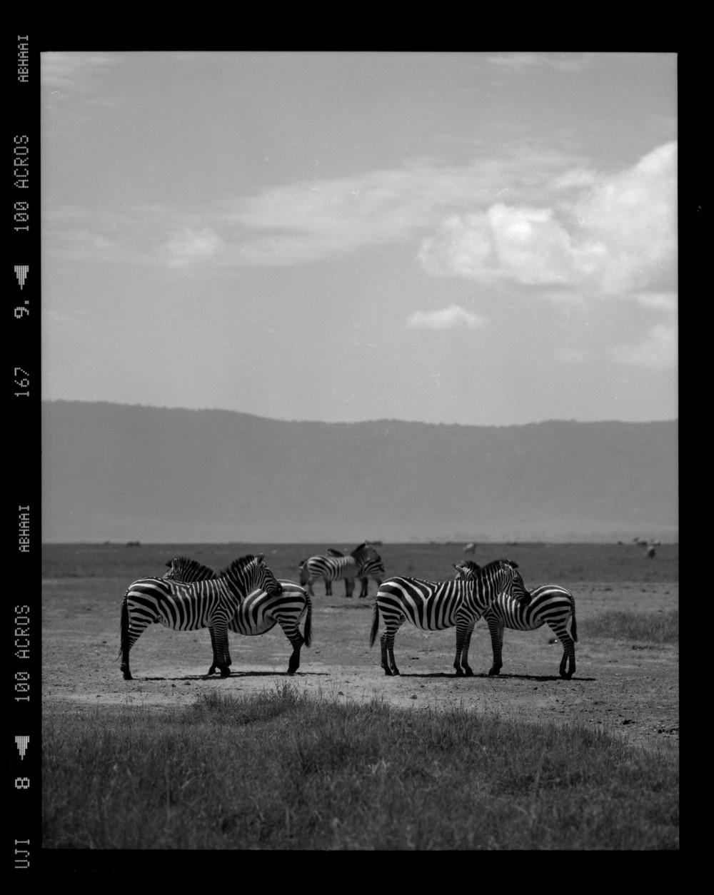 """""""Six Zebras"""""""
