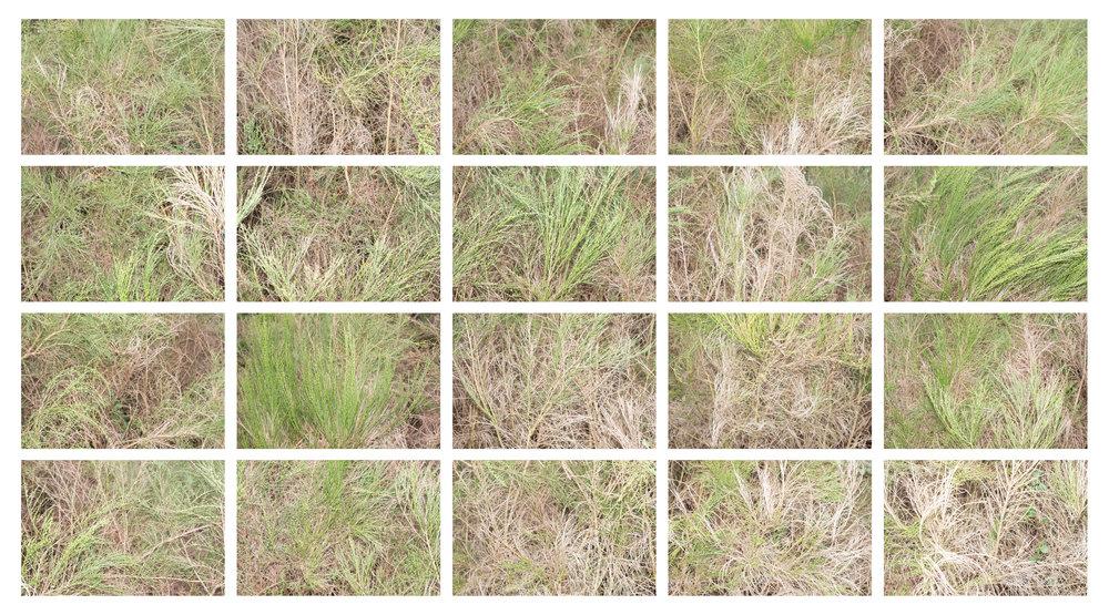 Scotch Broom 3.jpg