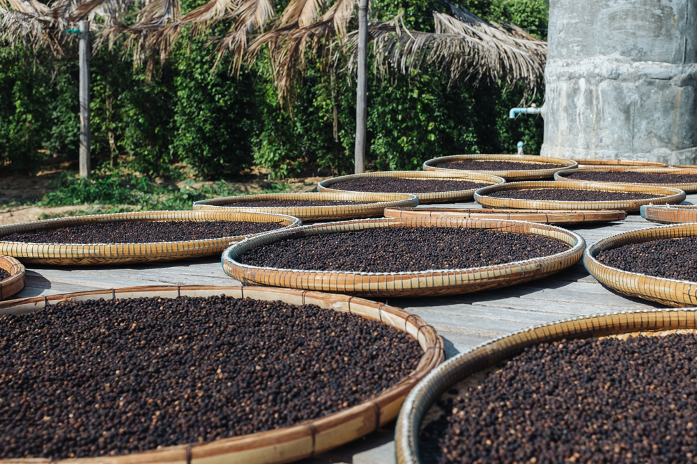 Fresh peppercorns picked from the vine are laid out to dry in the afternoon sun.