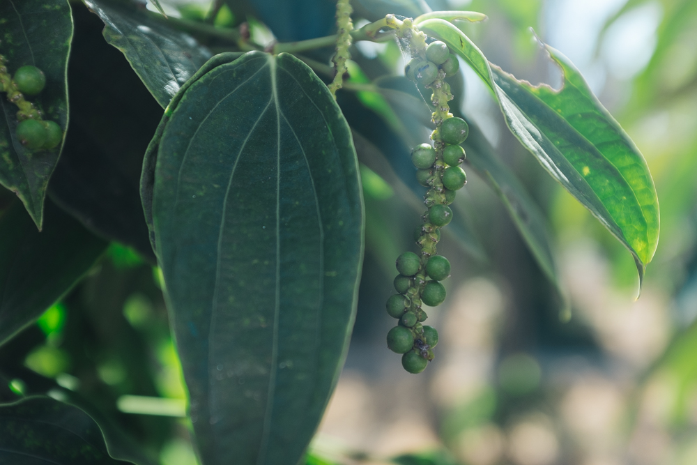 Young peppercorns start off green, but then turns yellow, then red depending on how long they're allowed to ripen on the vine.