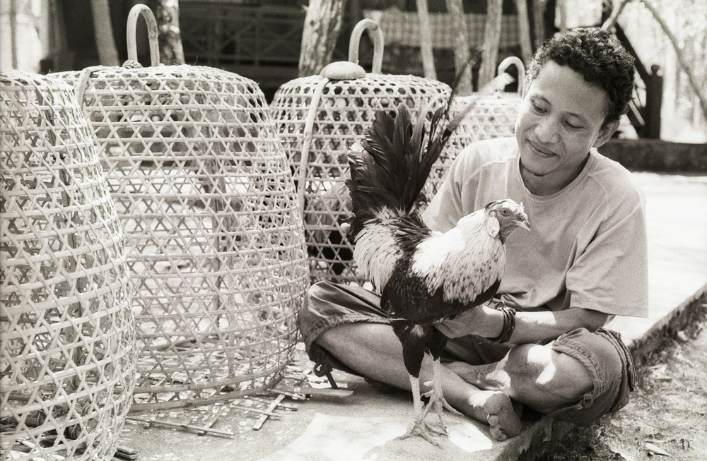Cockfight Training - Indonesian backyard