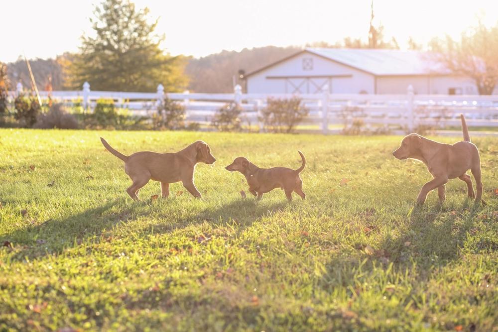 yellow-lab-puppies-photos