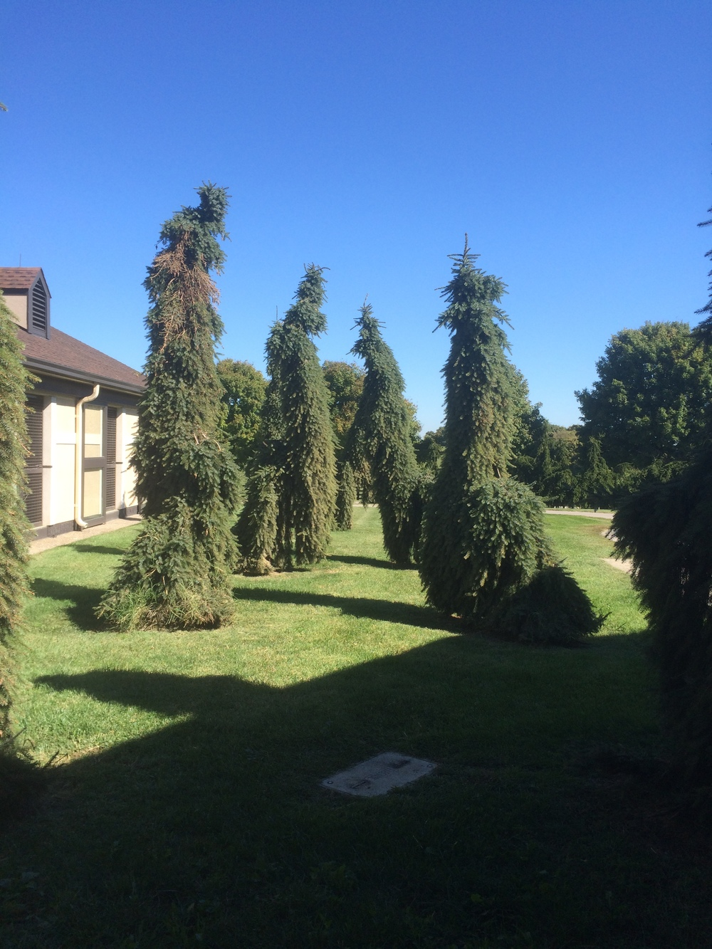 Weeping Norway Spruce trees at Dubai Millennium