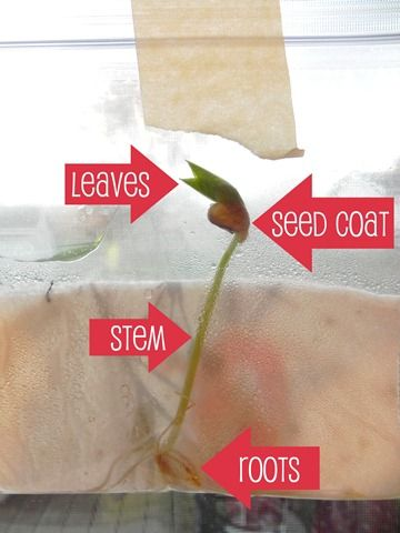 bean seed labeled.jpg
