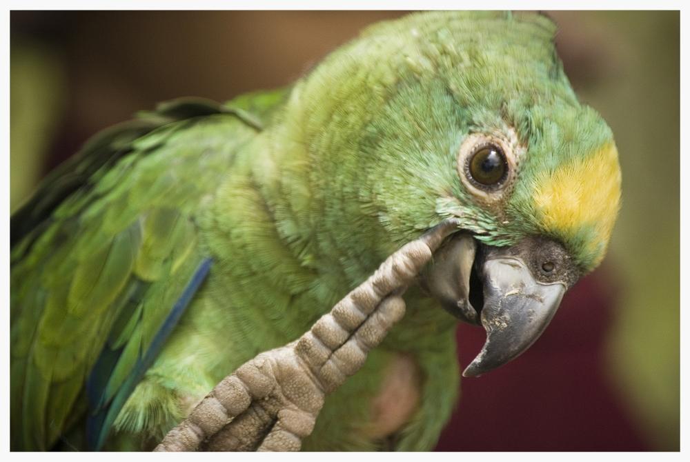 Parrot Portrait(2).jpg