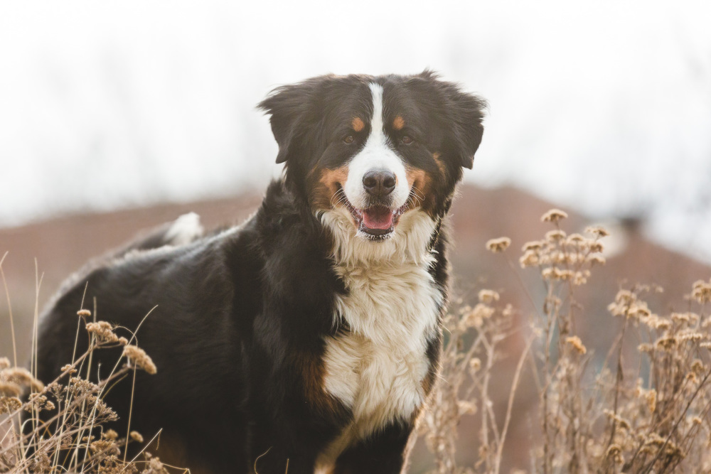 Bernese Mountain Dog, Chicago Dog Photography