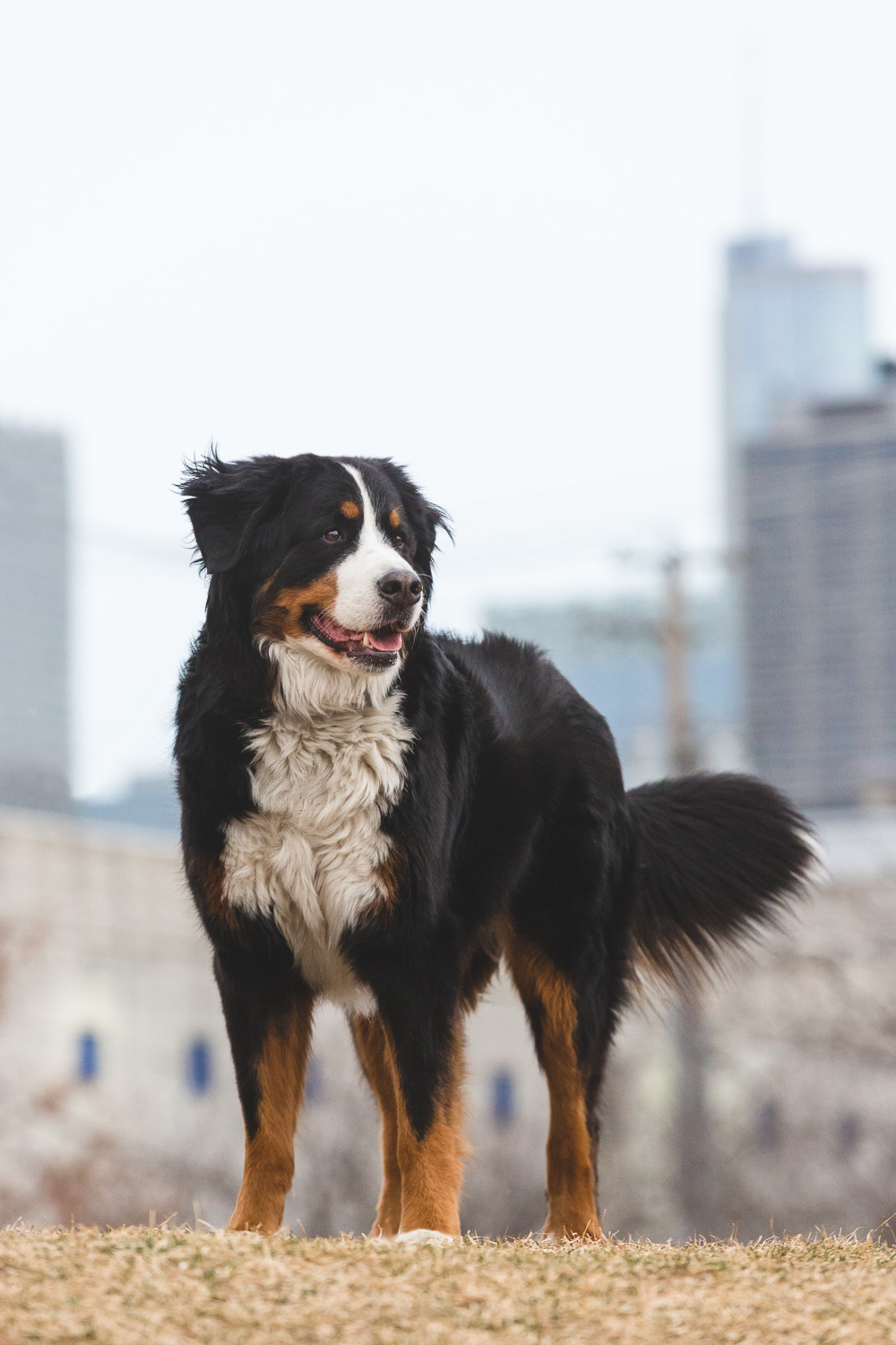 Bernese Mountain Dog | Chicago Dog Photography