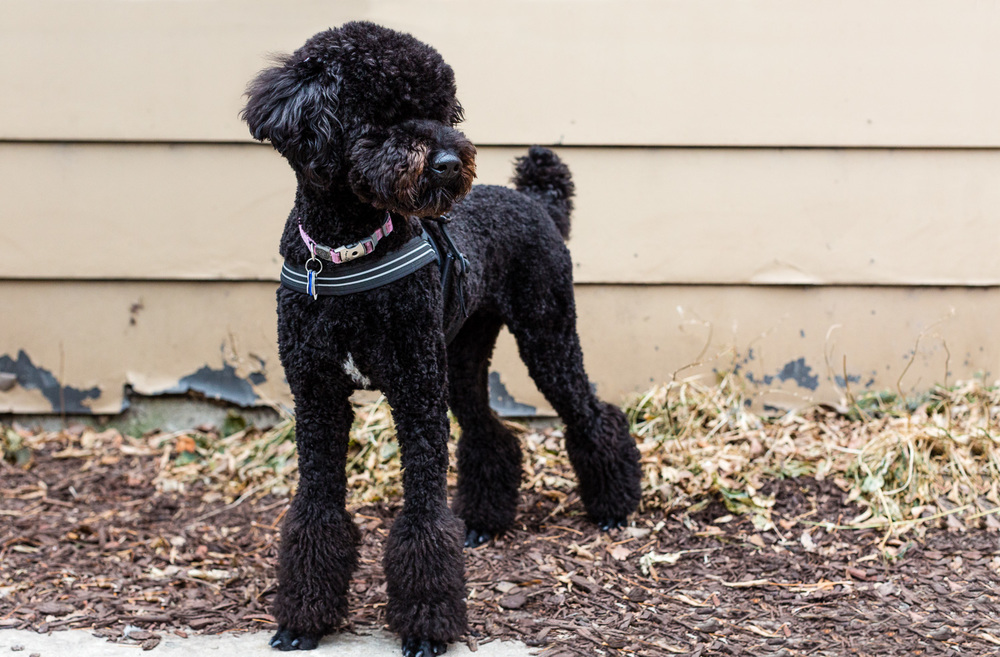 Poodle Chicago Dog Photography