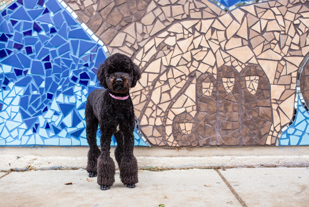 Poodle, Chicago Dog Photography