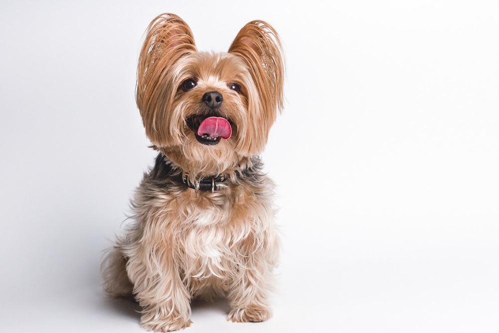 Yorkie, Chicago Dog Photography