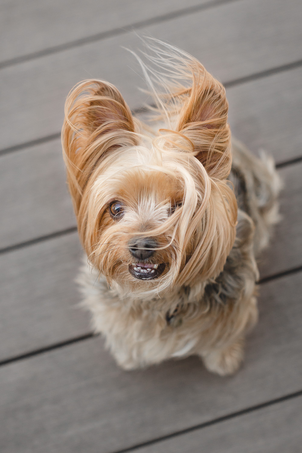 yorkie-chicago-pet-photographer-4.jpg
