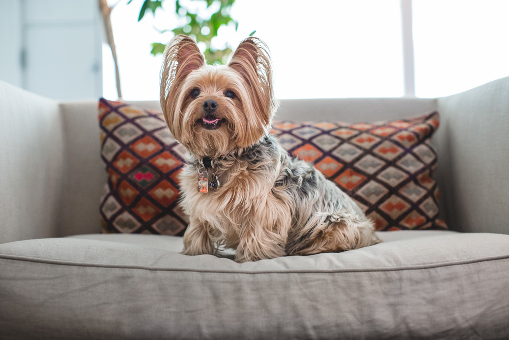 yorkie-chicago-pet-photographer-5.jpg