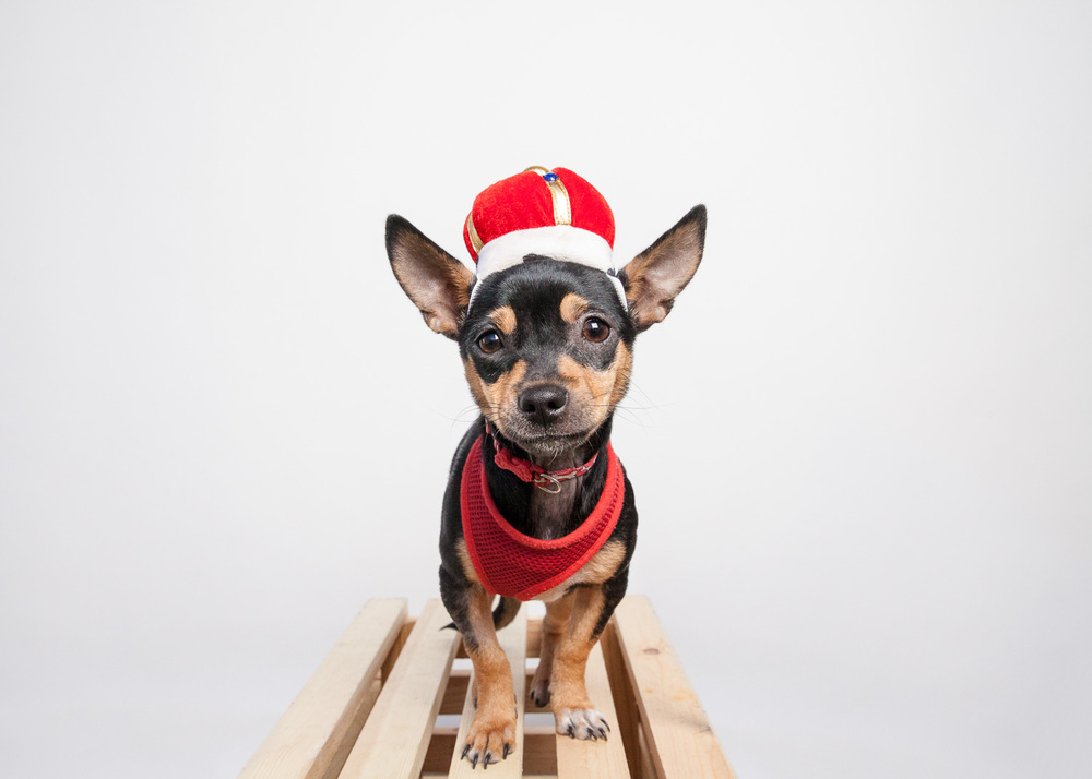 Puppy Chihuahua, Halloween costume