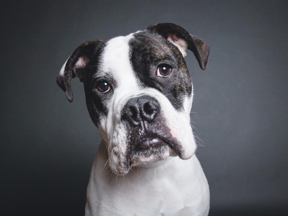 Rudy, Old English Bulldog