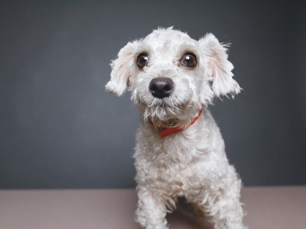 Adoptable Miniature Poodle