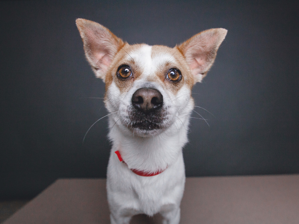 Clifford, Chihuahua Mix