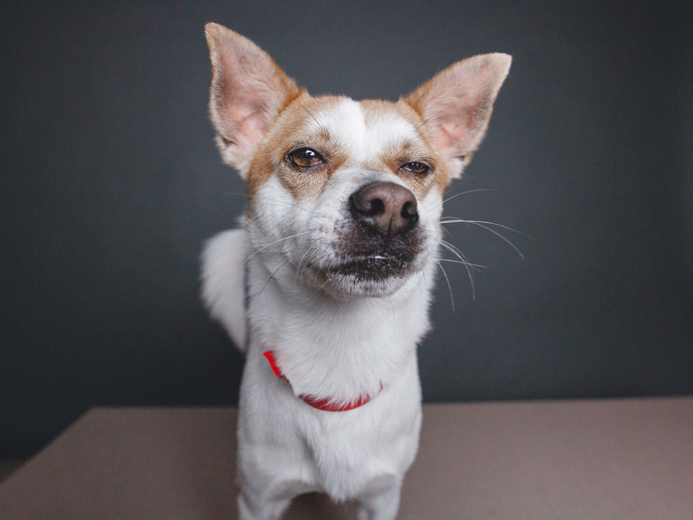 Adoptable Chihuahua Mix
