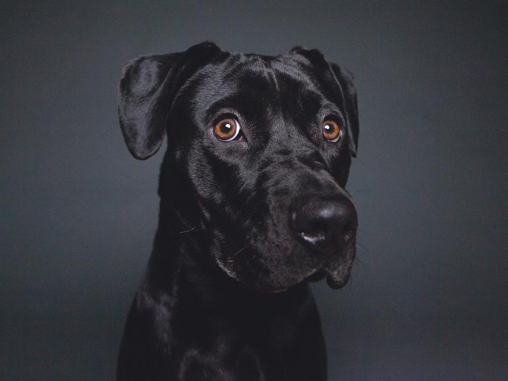 Homer,Labrador Retriever Mix