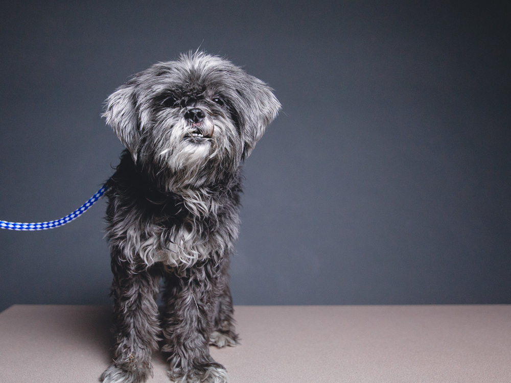 Smokey, Shih Tzu/Poodle Mix