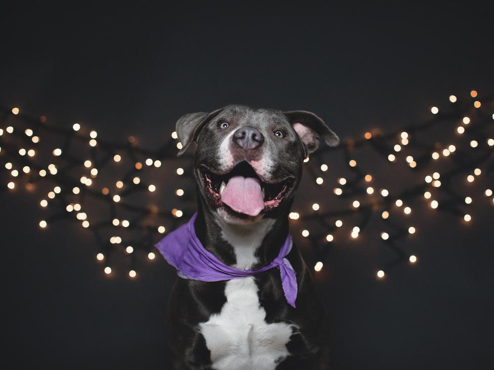 Dozer, American Pit Bull Terrier