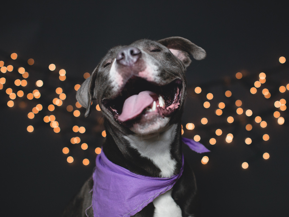 Adoptable American Pit Bull Terrier