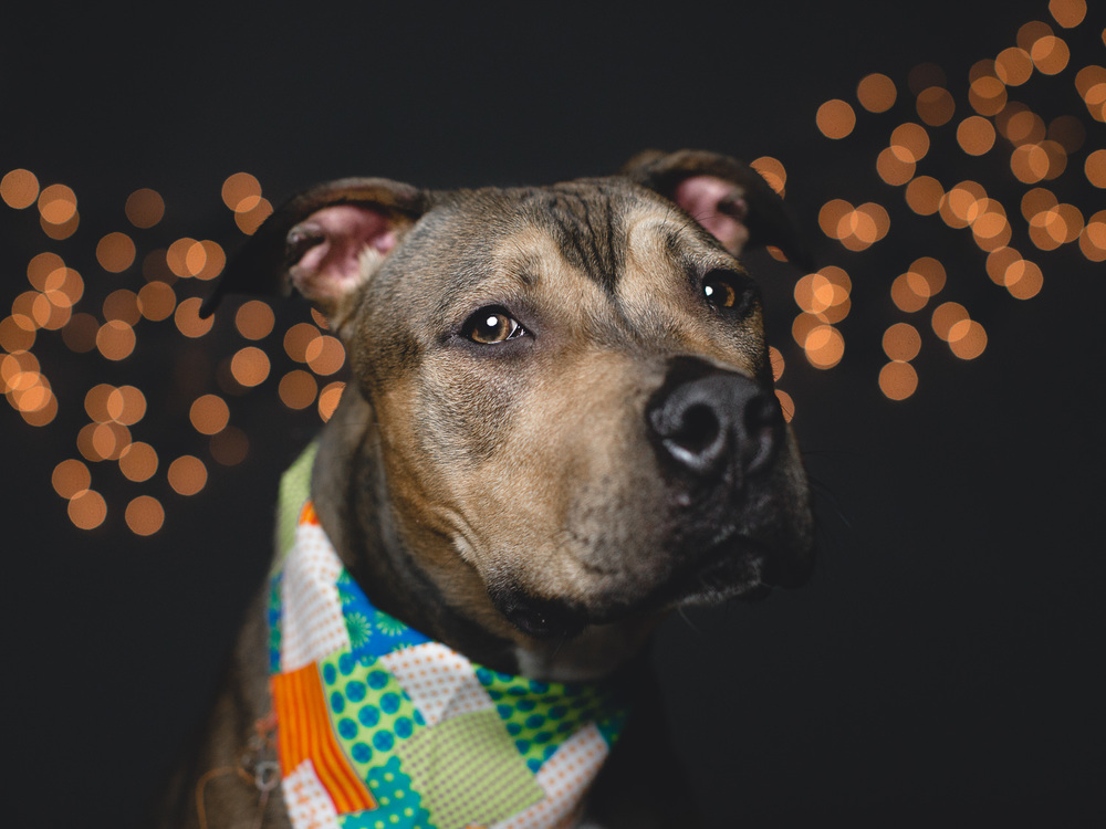 Flex, American Pit Bull Terrier Mix