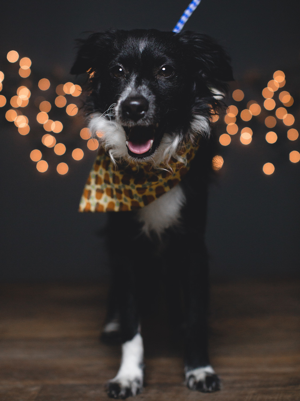 Adoptable Border Collie Mix