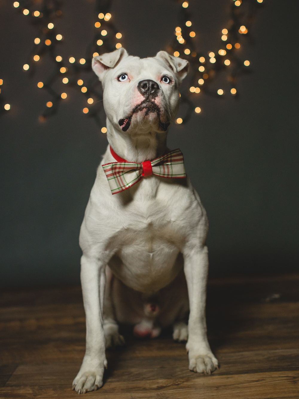 Foster Needed for an American Bulldog Mix In Chicago