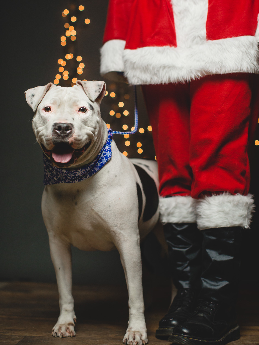 Pit Bull Mix Needs A Foster To Get Out Of Chicago Shelter