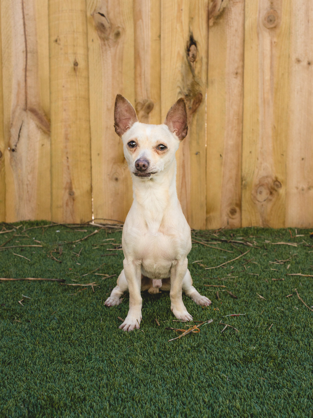 Adoptable Chihuahua Dachshund Mix In Chicago