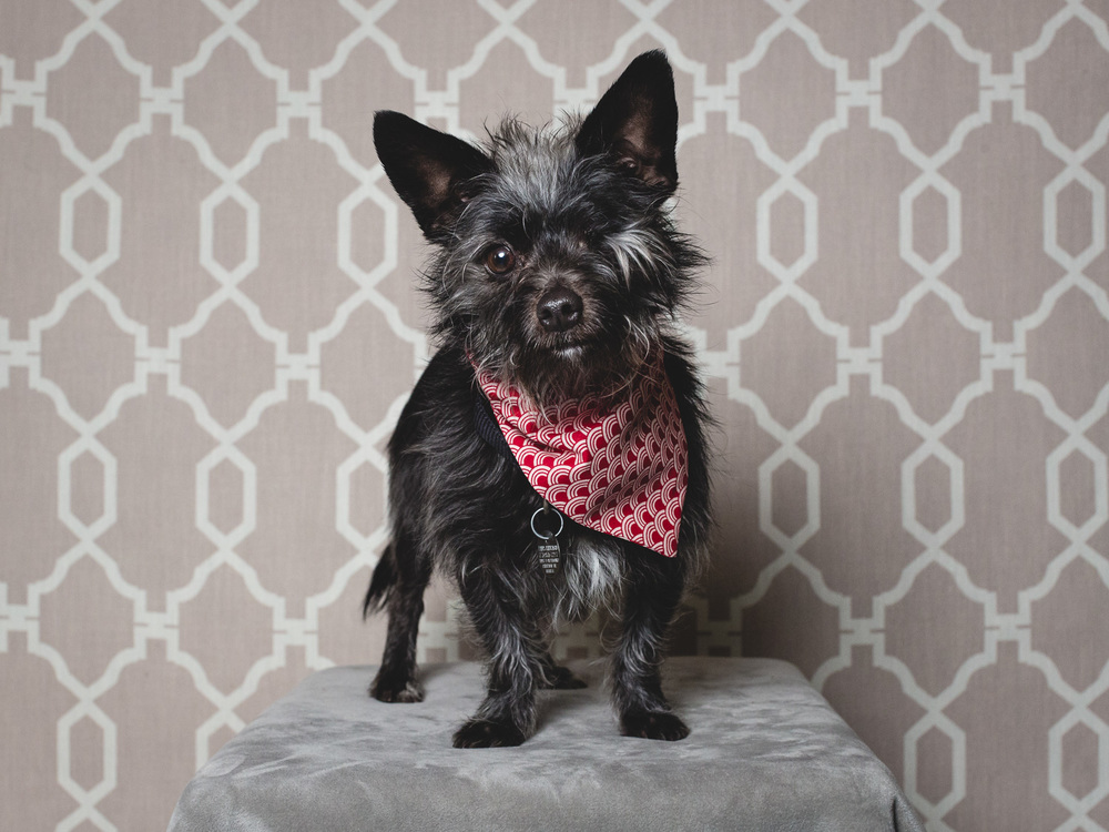 Knox, Cairn Terrier Mix