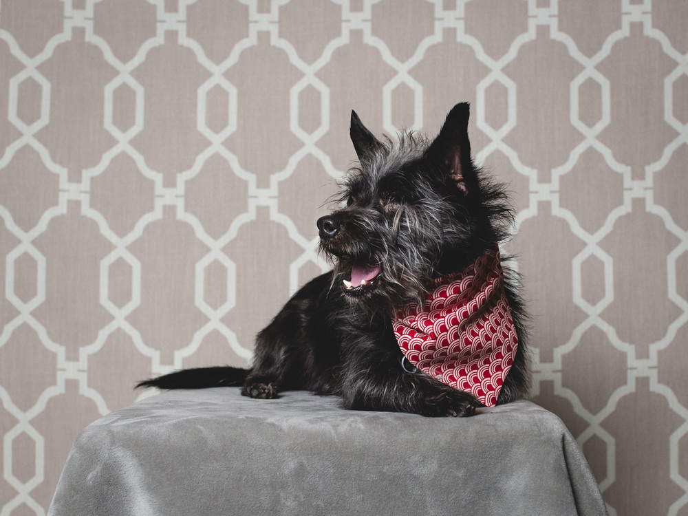 Adoptable Cairn Terrier Mix In Chicago