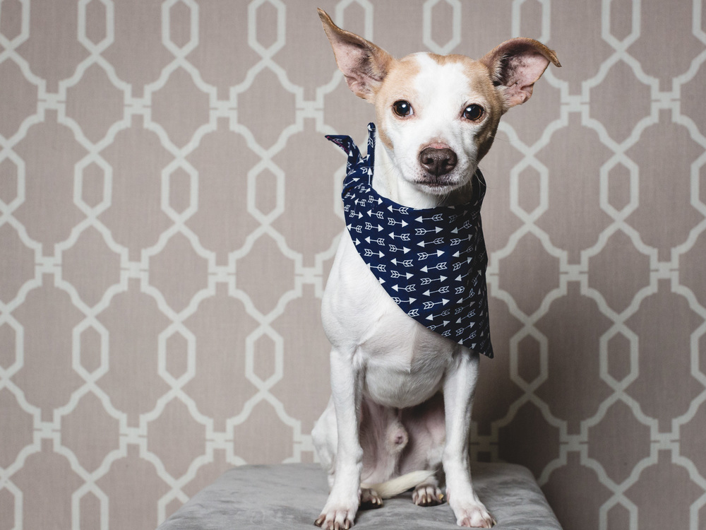 Adoptable Chihuahua At PAWS Chicago