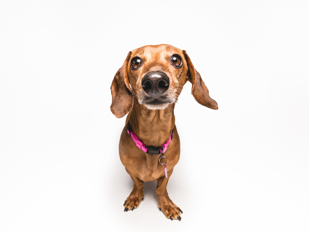 Dachshund Dog Portrait In Chicago