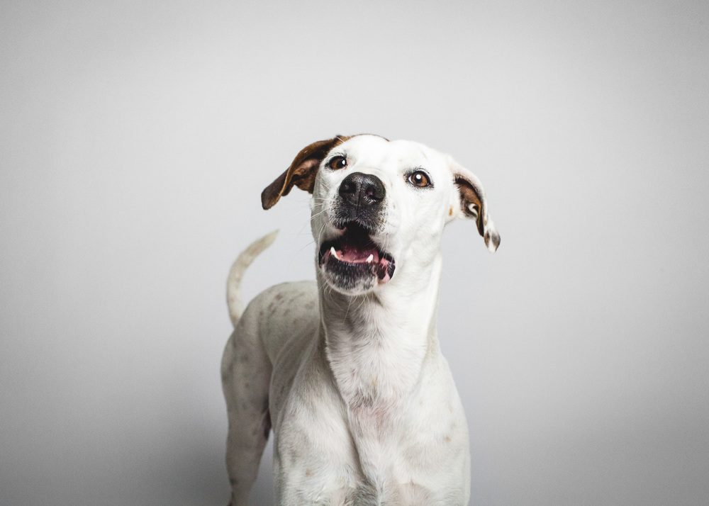 Jack Russell Terrier Mix | PAWS Chicago