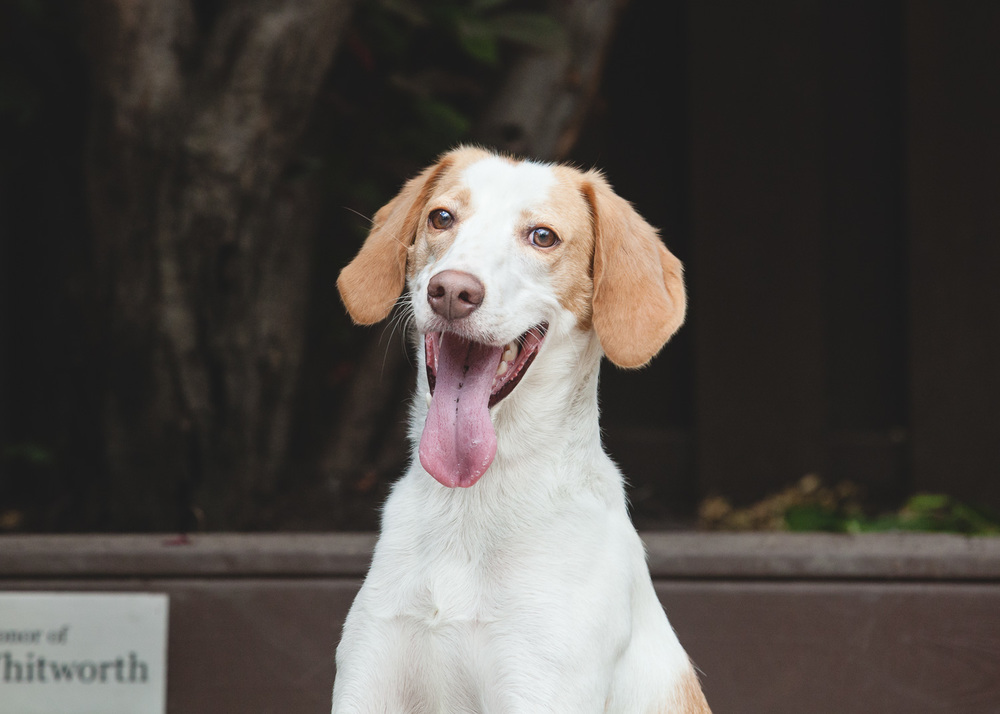 Adoptable Hound Mix At PAWS Chicago