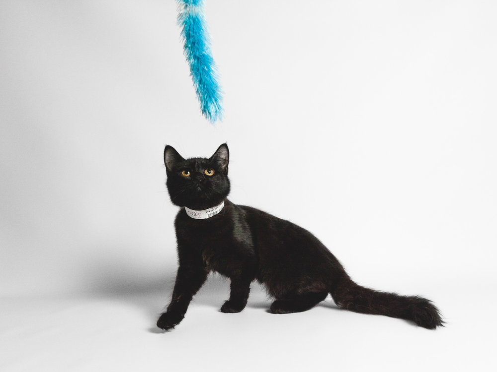 Adoptable Cat Available At Chicago Animal Care And Control